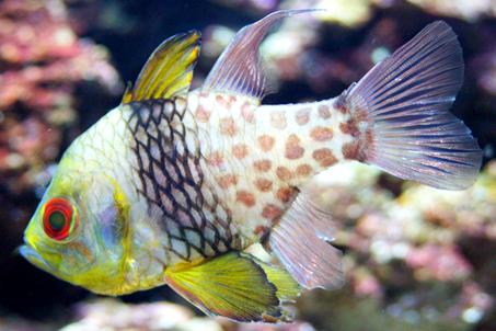 An unusual fish which hovers motionless in the water
