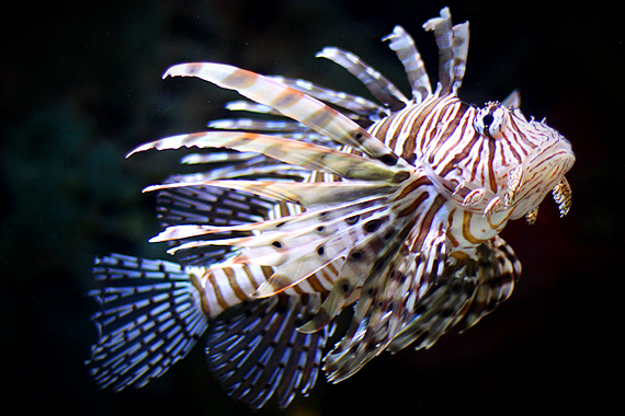 This marked a milestone in my relationship with Calvin—he taught me the name of the Lion Fish