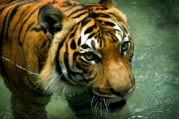 Small as Tigers Come, This Malayan Was a Mere 280 lbs.